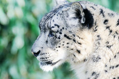 Snow leopard closeup Stock Photos