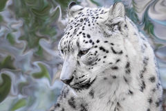 Snow Leopard Closeup. Series with blurred backgrounds Stock Images