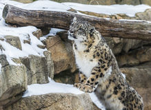 Snow Leopard Royalty Free Stock Image