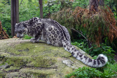 Snow Leopard, crouching on her rock