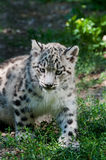 Snow Leopard cub. The three-month Snow Leopard  cub sitting in grass Stock Images