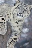 Snow Leopard Cub. A snow leopard cub looking into the camera while laying ontop of a stump stock image