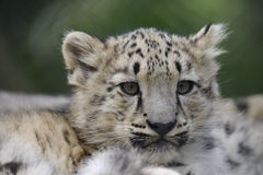 Snow Leopard Cub Royalty Free Stock Photography