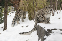 Snow Leopard Cub Crying on Rock in Snow Royalty Free Stock Photos