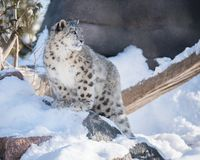 Snow Leopard Cub Exploring In Snow Stock Photo