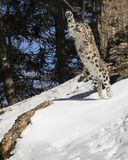 Snow Leopard Cub. This photo was created in February 2018 in Montana ,USA stock image