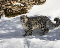 Snow Leopard Cub. This photo was created in February 2018 in Montana ,USA royalty free stock photography