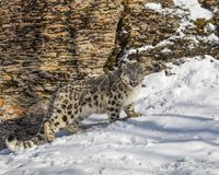 Snow Leopard Cub. This photo was created in February 2018 in Montana ,USA stock photo