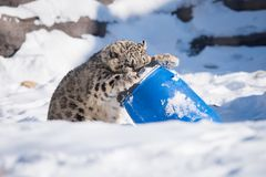 Snow Leopard Cub Playing With Barrell. A captive snow leopard cub plays with a barrel as part of its environmental enrichment at a zoo in Canada. This animal is royalty free stock photos