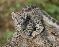 Snow leopard cub. Ready to pounce of rock Stock Photos