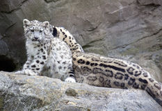 Snow Leopard cub sitting with mother Stock Photos