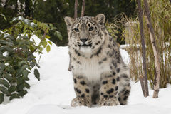 Snow Leopard Cub on Snow Bank. One of a pair of 6 month old twins born in the Central Park Zoo, this snow leopard cub siring between bushes on a snow bank being Royalty Free Stock Image