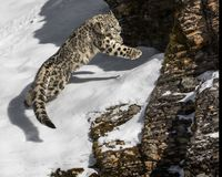 Snow Leopard Cub. Playing in the snow and rocks. This photo was created in February 2018 in Montana ,USA stock photos