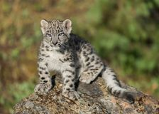 Snow leopard cub. Resting on rock Stock Photography