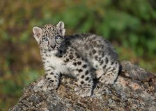 Snow leopard cub. Standing on rock Stock Photography