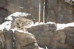 Snow Leopard Cub Walking on Snowy Cliff Stock Photos