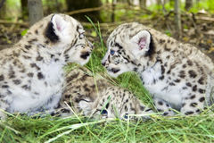 Snow leopard cubs. Pack of Snow leopard (Uncia uncia or Panthera uncia) babies royalty free stock image