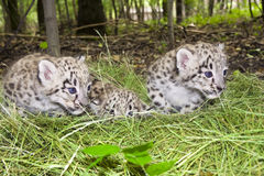 Snow leopard cubs Stock Images
