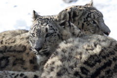 Snow leopard cubs stock image