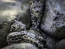Snow Leopard Cubs Stock Images