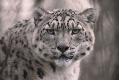 Snow Leopard with eye contact royalty free stock photography