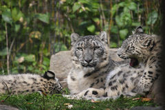 Snow  leopard family Stock Photos