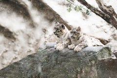 Snow leopard family, Irbis Uncia uncia Stock Photo