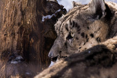 Snow Leopard Gaze. A closeup of a snow leopard looking behind him Stock Image