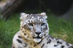 Snow leopard grass wood Royalty Free Stock Photography