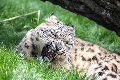 Snow leopard growling, eyes closed Royalty Free Stock Photo