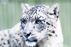 Snow Leopard Head Royalty Free Stock Photos