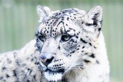 Snow Leopard Head Royalty Free Stock Photos