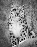 Snow Leopard II. Frontal portrait of sitting Snow Leopard Stock Image