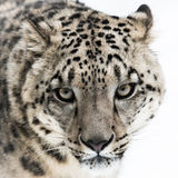 Snow Leopard II Stock Images