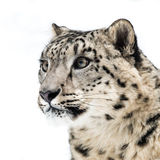 Snow Leopard III. 3/4 profile portrait of Snow Leopard Royalty Free Stock Photo