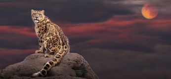 Snow Leopard In Moon Light Stock Image
