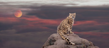 Snow Leopard In Moon Light Stock Photography