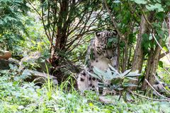 Snow leopard. The snow leopard inhabits alpine areas in Asia Royalty Free Stock Images