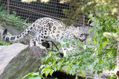 Snow leopard in movement. The snow leopard inhabits alpine areas in Asia Stock Photography
