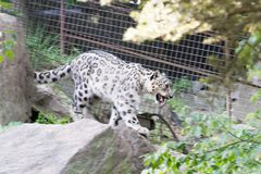 Snow leopard in movement. The snow leopard inhabits alpine areas in Asia Stock Images