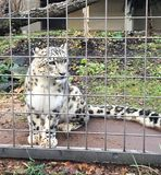 Snow Leopard Inside a Cage stock photography