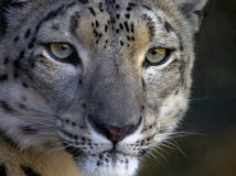 Snow leopard with an intense stare Stock Image