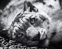 Snow leopard, irbis, black and white  panthera uncia, uncia uncia. Leopard lying on the stones Stock Photography