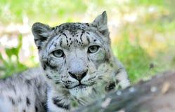 Snow leopard (Irbis) Stock Photo