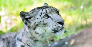 Snow leopard (Irbis) Royalty Free Stock Photos