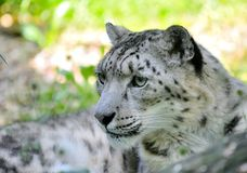 Snow leopard (Irbis) Royalty Free Stock Images