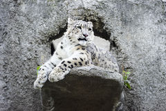 Snow leopard irbis Royalty Free Stock Photo