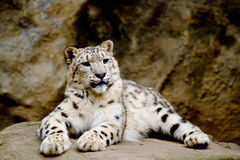 Snow Leopard Irbis (Panthera Uncia) Looking Ahead Royalty Free Stock Photo