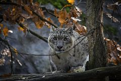 Portrait of Snow Leopard. Snow Leopard Irbis posing in the zoo with autumn leaves in the backround Stock Photos