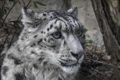 Portrait of Snow Leopard. Snow Leopard Irbis posing in the zoo Royalty Free Stock Image
